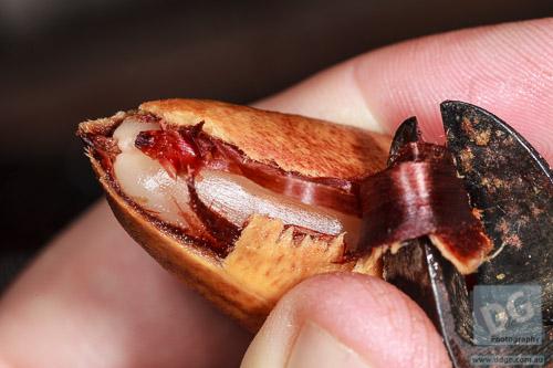 Peeling the Bunya Nut